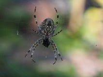 Διαγώνια αράχνη Στοκ Φωτογραφία