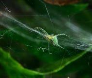 Διαγώνια αράχνη Στοκ φωτογραφίες με δικαίωμα ελεύθερης χρήσης