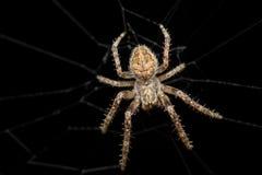 Διαγώνια αράχνη (diadematus Araneus) τη νύχτα Στοκ Εικόνες