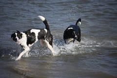 Διαγώνια σκυλιά κόλλεϊ που κολυμπούν στη θάλασσα Στοκ Εικόνες