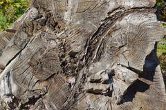 Διαγώνια τραχιά περικοπή ενός μεγάλου παλαιού δέντρου στοκ εικόνα με δικαίωμα ελεύθερης χρήσης