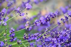 Διαγώνιες ακίδες των πορφυρών αγγλικών Lavender λουλουδιών Στοκ Εικόνα