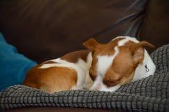 Διαγώνιο σκυλί Chihuahua τεριέ του Jack Russel που καθορίζει τον ύπνο Στοκ Φωτογραφίες