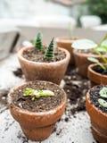 Διαδίδοντας ένα rubrotinctum sedum succulent ή τις εγκαταστάσεις φ φασολιών ζελατίνας Στοκ Φωτογραφία