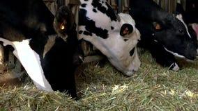 Διαδικασία σίτισης αγελάδων γάλακτος στο σύγχρονο αγρόκτημα Κατοικίδια ζώα που τρώνε το σανό απόθεμα βίντεο