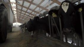 Διαδικασία σίτισης βοοειδών αγελάδων σε ένα μεγάλο αγρόκτημα γάλακτος, έννοια γεωργίας footage Αγελάδες στο γαλακτοκομικό αγρόκτη απόθεμα βίντεο