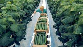 Διαδικασία συγκομιδής των αγγουριών που κατέχει ένας υπάλληλος σε μια πρασινάδα Έννοια αγροτικών προϊόντων Eco απόθεμα βίντεο