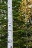 Διαδρομές και σημάδια σε ένα δέντρο λευκών που γίνεται από μια αρκούδα που αναρριχείται σε την Στοκ Φωτογραφία
