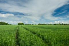 Διαδρομές ροδών στο πράσινα σιτάρι, τα δέντρα και τα σύννεφα στον ουρανό στοκ φωτογραφίες με δικαίωμα ελεύθερης χρήσης
