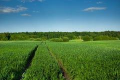 Διαδρομές ροδών στο πράσινους σιτάρι, το δάσος και το μπλε ουρανό στοκ εικόνες