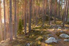 Διαδρομή οδοιπορίας πέρα από ένα esker με τα δέντρα πεύκων Στοκ φωτογραφία με δικαίωμα ελεύθερης χρήσης