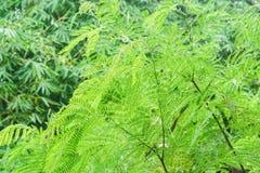 Διαδώστε τα ανοικτό πράσινο δέντρα leucocephala leucaena στη ζούγκλα μετά από να βρέξει Στοκ εικόνα με δικαίωμα ελεύθερης χρήσης
