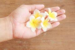 Διαθέσιμη εκμετάλλευση χεριών λουλουδιών Plumeria με το ξύλινο υπόβαθρο Στοκ Φωτογραφίες