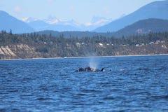 Διακινούμενες φάλαινες δολοφόνων στοκ εικόνα