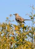 διακλαδίζεται mockingbird Στοκ εικόνες με δικαίωμα ελεύθερης χρήσης