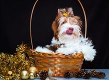 Διακοσμήσεις τεριέ και Χριστουγέννων του Γιορκσάιρ Biewer Στοκ Εικόνα