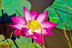 διακοσμήστε τον ελεύθερο χρόνο κήπων φαίνεται λίμνη λωτού στοκ φωτογραφία με δικαίωμα ελεύθερης χρήσης