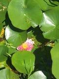 διακοσμήστε τον ελεύθερο χρόνο κήπων φαίνεται λίμνη λωτού στοκ εικόνα με δικαίωμα ελεύθερης χρήσης