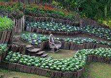 Διακοσμήστε τον κήπο με τη φύτευση λάχανων στοκ εικόνες