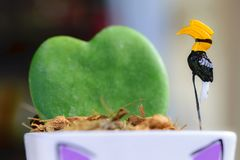 Διακοσμημένη ένα hornbill στην καρδιά διαμόρφωσε hoya το δοχείο στοκ φωτογραφία