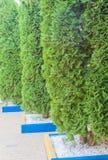 Διακοσμητικά δέντρα σε μια σειρά Στοκ εικόνες με δικαίωμα ελεύθερης χρήσης