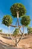 Το διακοσμητικό δέντρο διαμορφώνει το αστέρι του Δαυίδ. Στοκ Φωτογραφίες