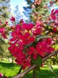 Διακοσμητικά λουλούδια Aplle Στοκ Φωτογραφίες
