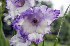 Διακοσμητικά λουλούδια hortulanus Gladiolus στην άνθιση, ιώδες άσπρο χρώμα Στοκ Εικόνες