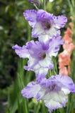 Διακοσμητικά λουλούδια hortulanus Gladiolus στην άνθιση, ιώδες άσπρο χρώμα Στοκ φωτογραφίες με δικαίωμα ελεύθερης χρήσης