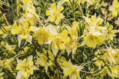 Διακοσμητικά λουλούδια κίτρινο Aquilegia Στοκ φωτογραφίες με δικαίωμα ελεύθερης χρήσης