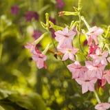 Διακοσμητικά λουλούδια καπνών Στοκ Εικόνα