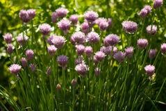 Διακοσμητικά λουλούδια του κρεμμυδιού στο θερινό ηλιόλουστο κήπο Στοκ Εικόνα