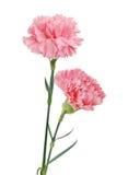 Διακοσμητικά ρόδινα λουλούδια γαρίφαλων Στοκ Εικόνες