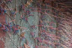 Διακοσμητικά σταφύλια σε έναν τοίχο Στοκ Εικόνα