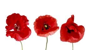 Διακοσμητικά στοιχεία τρία κόκκινη όμορφη παπαρούνα λουλουδιών στο άσπρο ι στοκ φωτογραφία με δικαίωμα ελεύθερης χρήσης