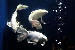 διακοσμητικά τροπικά ψάρια πτερυγίων ουρών ψαριών μακριά από την Ινδονησία Στοκ Εικόνες