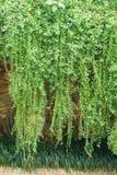 Διακοσμητικά φυτά στον τοίχο Στοκ Εικόνες