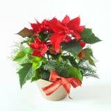 Διακοσμητικά Χριστούγεννα Poinsettia στοκ φωτογραφίες με δικαίωμα ελεύθερης χρήσης