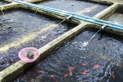 Διακοσμητικά ψάρια αγροτικών βρεφικών σταθμών του γλυκού νερού στην αναδιανομή του συστήματος υδατοκαλλιέργειας στοκ εικόνες