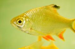 Διακοσμητικά ψάρια ενυδρείων Στοκ Εικόνες