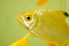 Διακοσμητικά ψάρια ενυδρείων Στοκ εικόνες με δικαίωμα ελεύθερης χρήσης
