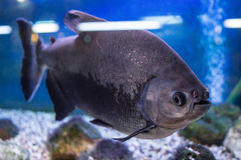 Διακοσμητικά ψάρια ενυδρείων Στοκ Φωτογραφία
