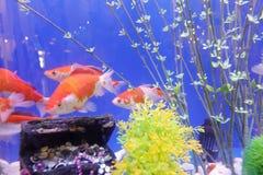 Διακοσμητικά ψάρια με το στήθος θησαυρών Στοκ εικόνα με δικαίωμα ελεύθερης χρήσης