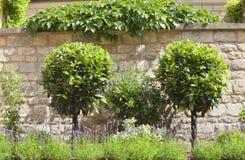 Διακοσμητικά topiary δέντρα, πορφυρό lavender στο θερινό κήπο Στοκ εικόνα με δικαίωμα ελεύθερης χρήσης