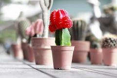 Διακοσμητικές εγκαταστάσεις κάκτων στη ζαρντινιέρα με το κόκκινο χτύπημα λουλουδιών ελεύθερη απεικόνιση δικαιώματος