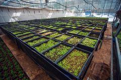 Διακοσμητικές εγκαταστάσεις και λουλούδια στο σύγχρονο υδροπονικό βρεφικό σταθμό θερμοκηπίων ή το θερμοκήπιο, βιομηχανική δενδροκ στοκ εικόνες