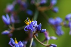 Διακοσμητικές χλοώδεις εγκαταστάσεις με τα μικρά πορφυρά λουλούδια Στοκ εικόνες με δικαίωμα ελεύθερης χρήσης