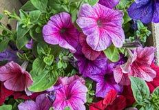 Διακοσμητική πετούνια λουλουδιών Στοκ φωτογραφία με δικαίωμα ελεύθερης χρήσης
