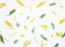 Διακοσμητική σύνθεση των λουλουδιών και των φύλλων του dealbata ακακιών Στοκ εικόνες με δικαίωμα ελεύθερης χρήσης
