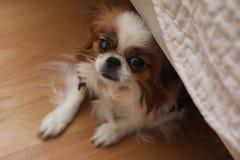 Διακοσμητική φυλή των σκυλιών Ένα μικρό εσωτερικό σκυλί Το σκυλί κάτω από το θόριο Στοκ Εικόνα